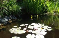 pond_lilies3